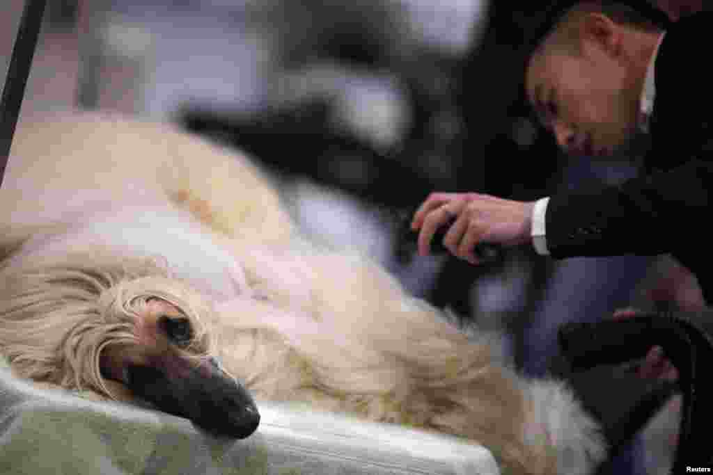 A trainer prepares an Afghan Hound before competing at the Shanghai International Dog Show. Dog shows got their start about 15 years ago in China and are gaining popularity among a fast-growing sector of the upper class.