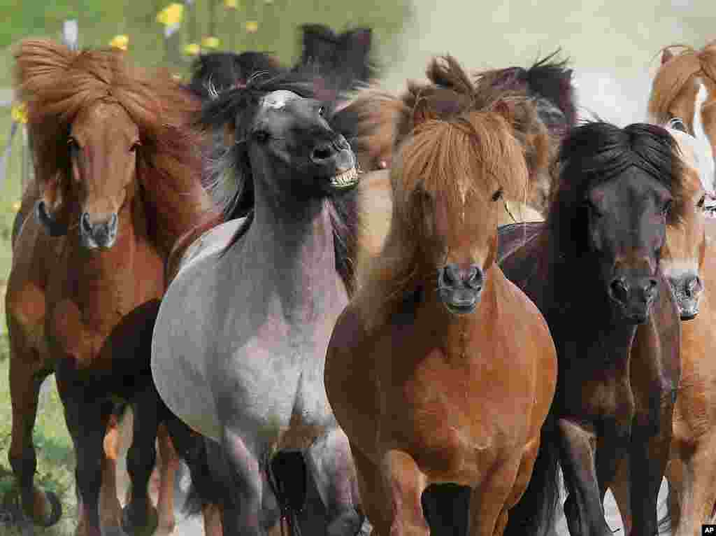 Iceland horses run in their paddock in Wehrheim, Germany.