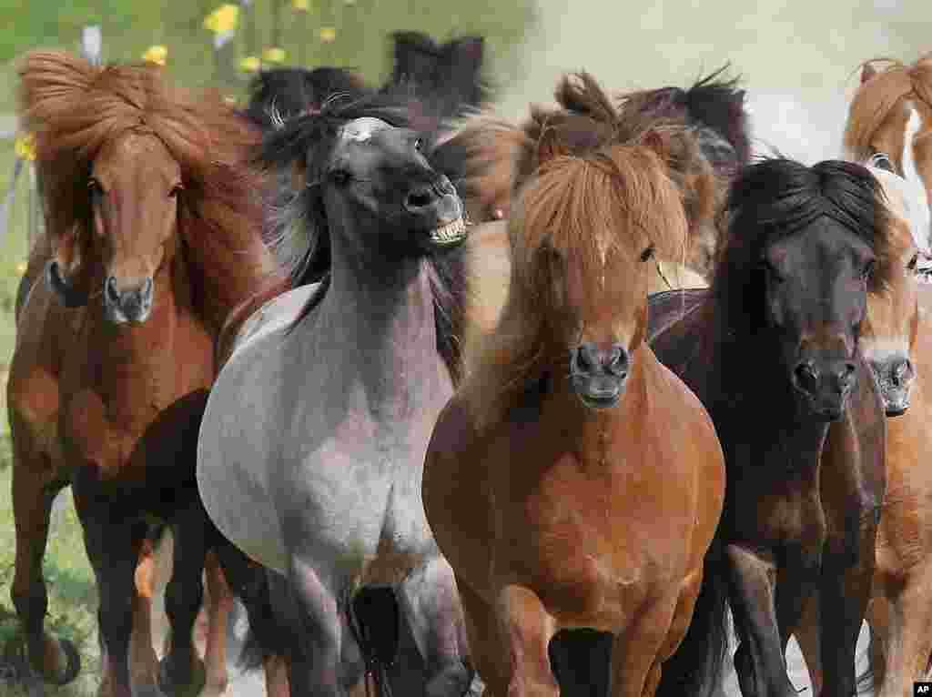 Almanya Wehrheim'de koşan atlar