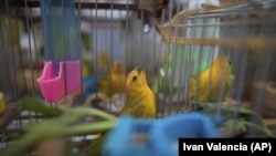 In this Aug. 5, 2019 photo, canaries caught from the wild by animal traffickers sing in their cages in a quarantined area of a wildlife center before being freed in Bogota, Colombia. (AP Photo/Ivan Valencia)