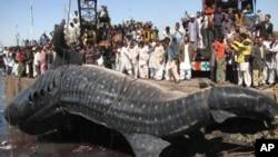 کراچی ساحل پر مردہ دیوہیکل مچھلی