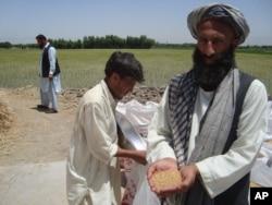 سږ کال افغان دهقانان له حاصلاتو خوښ دي