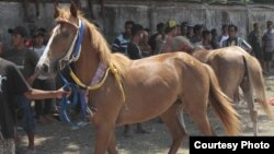 Kuda Sandel Sumba kerap menjadi incaran penggila kuda di seluruh dunia. (Courtesy: Max FM Waingapu)