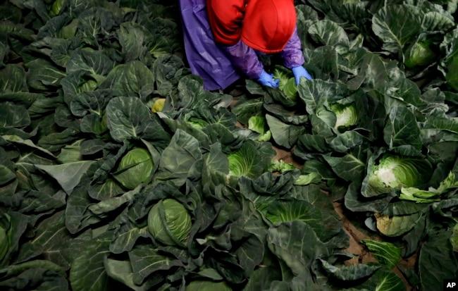 FILE - A farmworker picks cabbage before dawn in a field outside of Calexico, California, March 6, 2018.