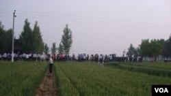 村民观看毁麦征地行动南贾素村毁麦现场(村民提供)