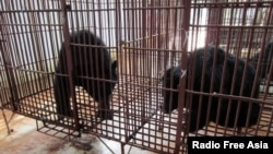 Asiatic black bears inside a cage at a private bear bile farm in Vietnam's southern province of Binh Duong, before being transported to a bear rescue center founded by Animals Asia, Nov. 29, 2011.