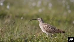 This June 30, 2016 photo provided by the U.S. Geological Survey shows a Bristle-thighed Curlew in Nome, Alaska. (Rachel M. Richardson/U.S. Geological Survey via AP)