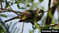 亚洲画眉鸟(网络照片)