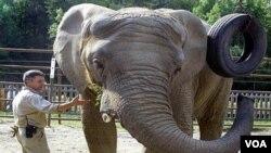 Maggie, gajah asal Afrika yang sangat besar ini, mungkin kedinginan dan kesepian di Alaska yang sangat dingin, sehingga harus 'dipindahkan' ke tempat yang lebih hangat.