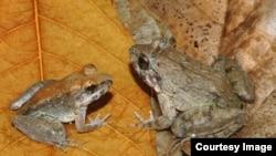 Specie të reja (mashkull majtas, femër djathtas) nga ishulli Sulawesi në Indonezi, nuk bëjnë vezë apo lindin brektosa.