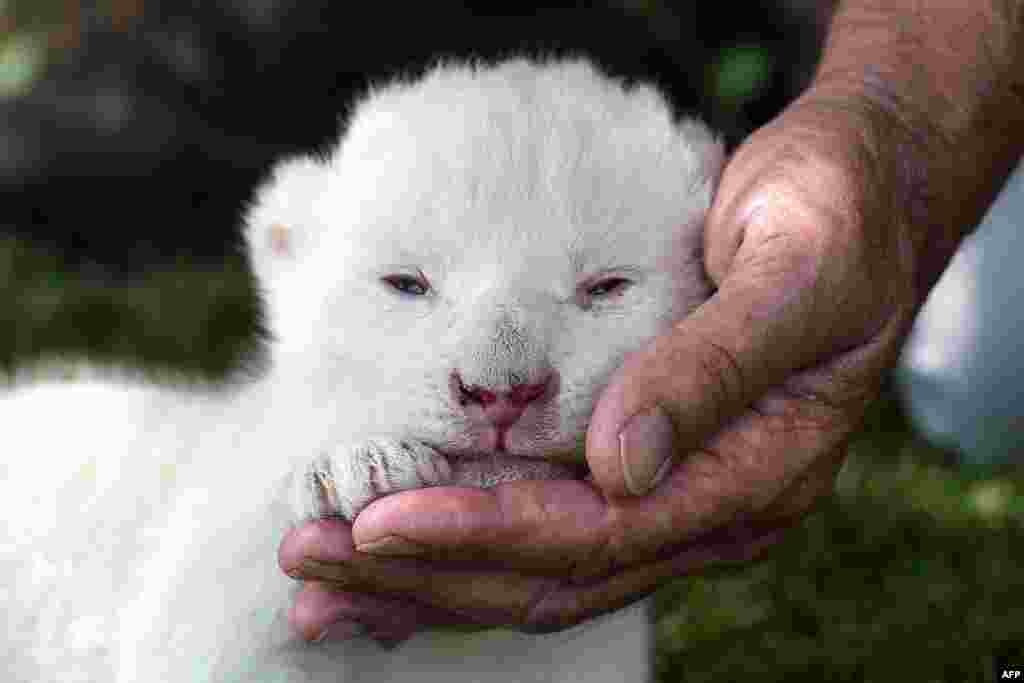 White King, the first white lion cub to be born in Spain, is presented to the press at the Guillena World Park Reserve in Sevilla.
