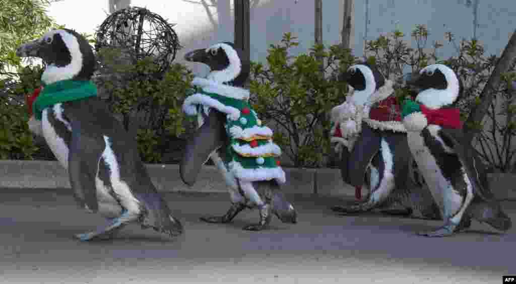 پنگوئن های آفریقایی با لباس های کریسمس در پارک تفریحی و آکواریوم «بهشت دریای هاکیجیما» در یوکوهومای ژاپن
