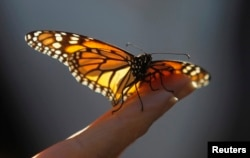 FILE - A monarch butterfly rests on a visitor's hand at the Monarch Grove Sanctuary in Pacific Grove, California, Dec. 30, 2014.