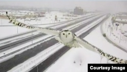 Snowy Owl captured by a traffic camera in Quebec, Canada.