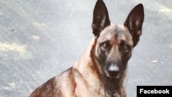 تصویری از سگ پلیس که مورد حمله یک مظنون قرار گرفت. عکس از فیس بوک انجمن سگ های پلیس نیو همپشایر