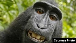 El famoso selfie de Naruto, una macaco hembra que en 2011 se tomó varias fotos después de llevarse la cámara del fotógrafo británico David Slater.