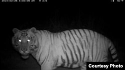 A tiger's eyes glow during the night on the same foot paths and roads humans use during the day to collect wood and grasses.