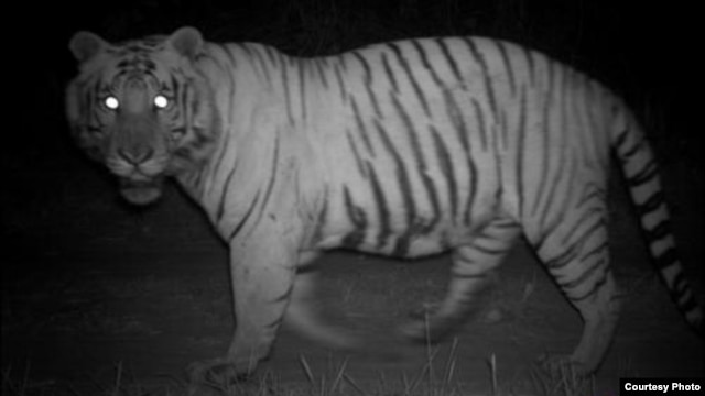 A tiger's eyes glow during the night on the same foot paths and roads humans use during the day to collect wood and grasses. (Center for Systems Integration and Sustainability, Michigan State University)