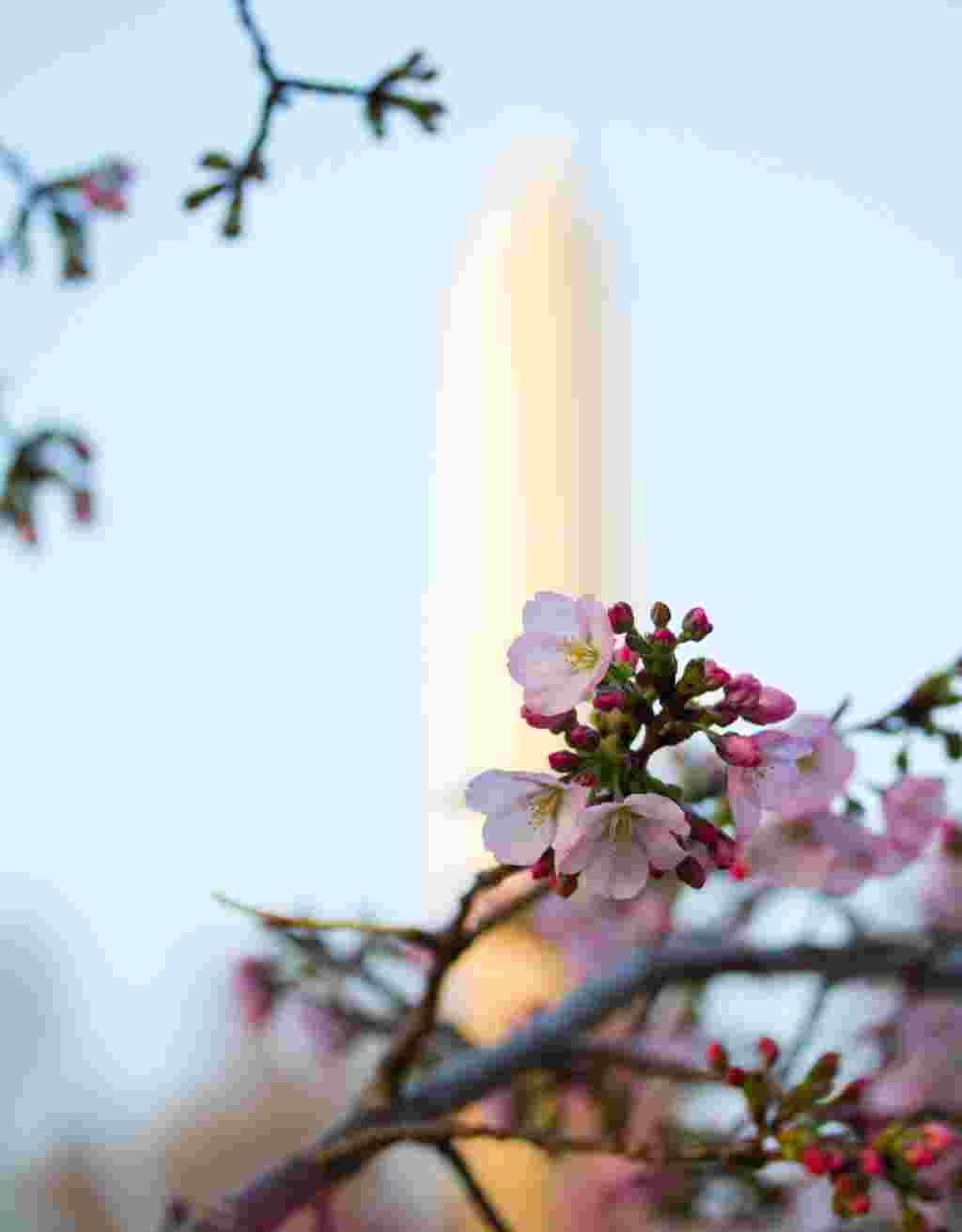 La imagen más emblemática de la ciudad: el Obelisco conocido como Monumento a Washington junto a los cerezos en flor.
