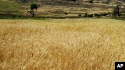 A wheat field in Ethiopia.
