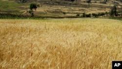 A wheat field in Ethiopia