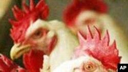 Consumo de frango em Moçambique aumenta 40 por cento ao ano