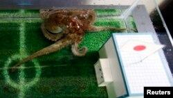 Một con bạch tuộc dự đoán trận đấu của Nhật.