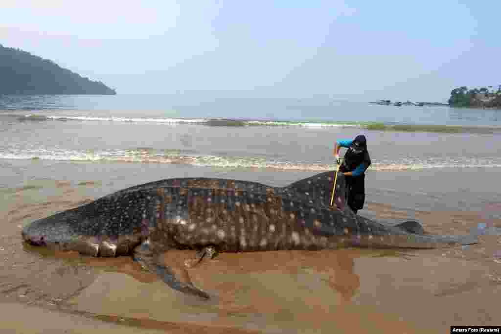 An officer measures the size of a whale shark, stranded at Teluk Betung beach in South Pesisir regency, West Sumatra province, Indonesia.