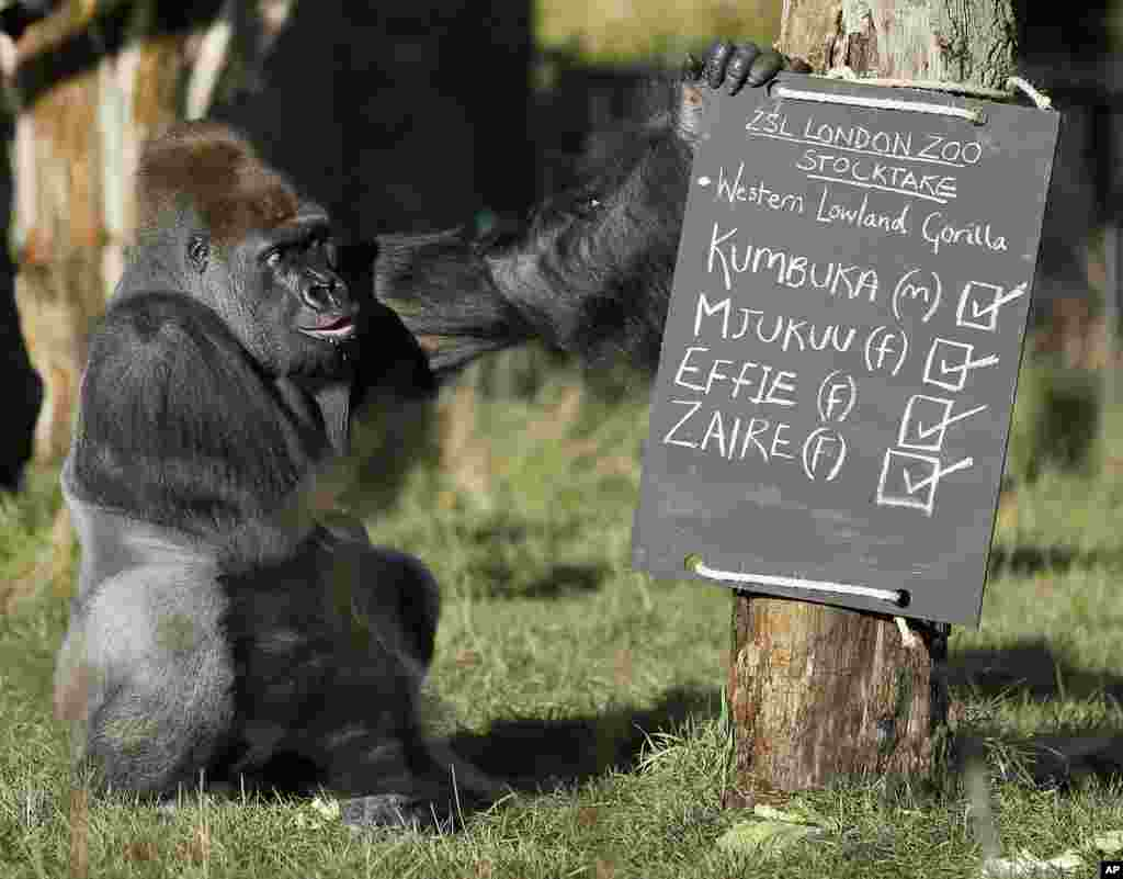 Kumbuka, a male silverback gorilla, inspects the keeper's chalk board in his enclosure at the London Zoo.