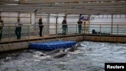 تصاویر: برفیلے پانی میں پھنسی وہیل مچھلیوں کو آزادی کا پروانہ مل گیا