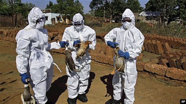 Health department officials and volunteers wear protective gear and cull birds in an effort to check for bird flu, at a poultry farm at Keranga village in Khurda district, India, January 13, 2012.