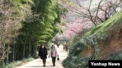 제19회 광양매화축제 개막을 앞둔 15일 전남 광양 매화마을에서 매화가 꽃망울을 터뜨리기 시작했다.