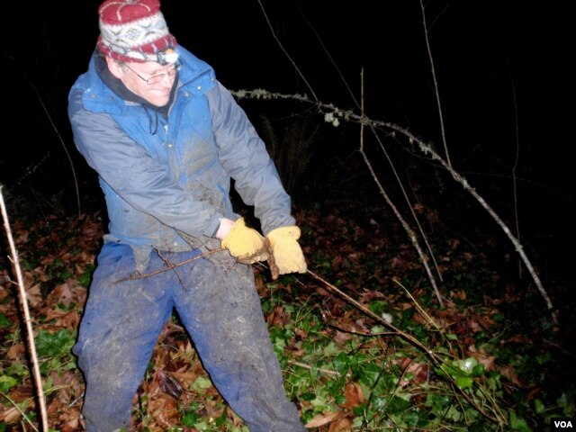 Volunteer Kevin Head clears ivy in the pre-dawn darkness at Olympia's Priest Point Park in Washington State. (T. Banse/VOA)