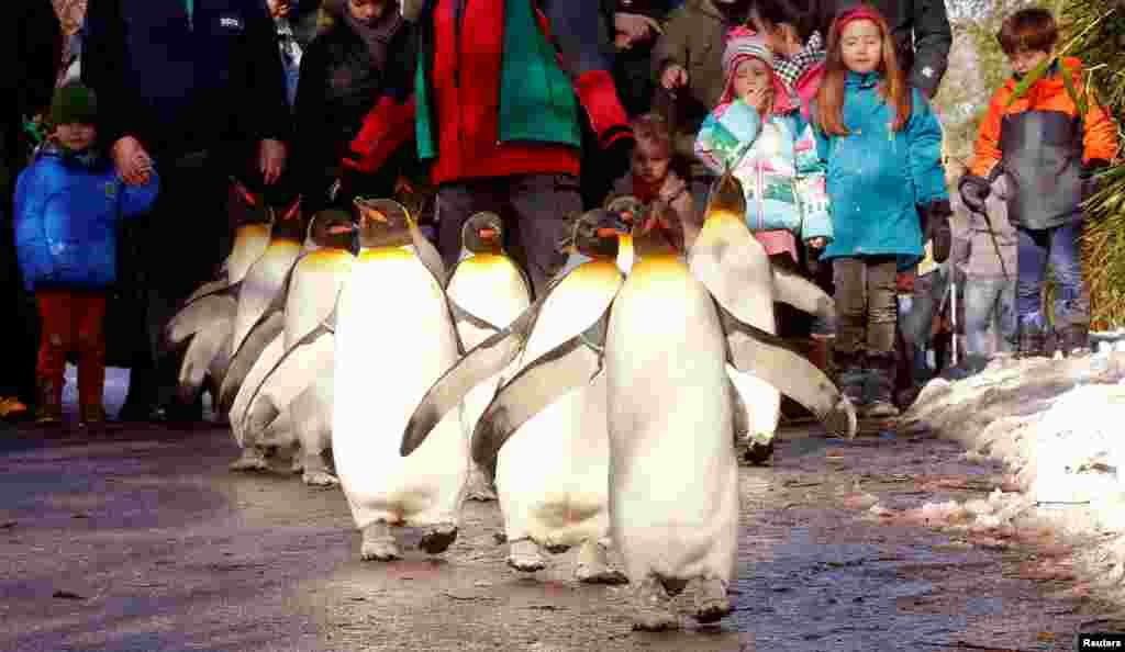 មនុស្សម្នាក់ដើរតាមសត្វភេនខ្វីន (penguins) ក្នុងការដើរក្បួនភេនខ្វីនមួយ នៅពេលដែលសត្វភេនខ្វីនទាំងនេះដើរនៅខាងក្រៅជម្រករបស់ខ្លួន ហើយអ្នកទស្សនាអាចដើរតាមពីក្រោយ នៅសួន Zurich's Zoo ក្នុងក្រុង Zurich ប្រទេសស្វ៊ីស កាលពីថ្ងៃទី២៨ ខែមករា ឆ្នាំ២០១៧។