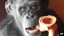 Ninety-eight percent of a chimpanzee's DNA is identical to that of humans.