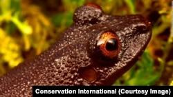 Devil-Eyed Frog