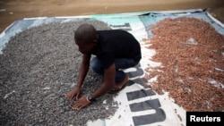 Un agriculteur répand les fèves de cacao à sécher sur un terrain découvert dans le village d'Iragbiji, au sud-ouest du Nigeria, le 25 août 2014.(ARCHIVES)