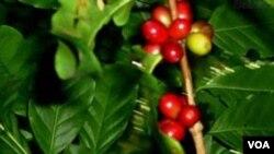 Produtores de café em Malanje queixam-se da falta de apoio - 2:57
