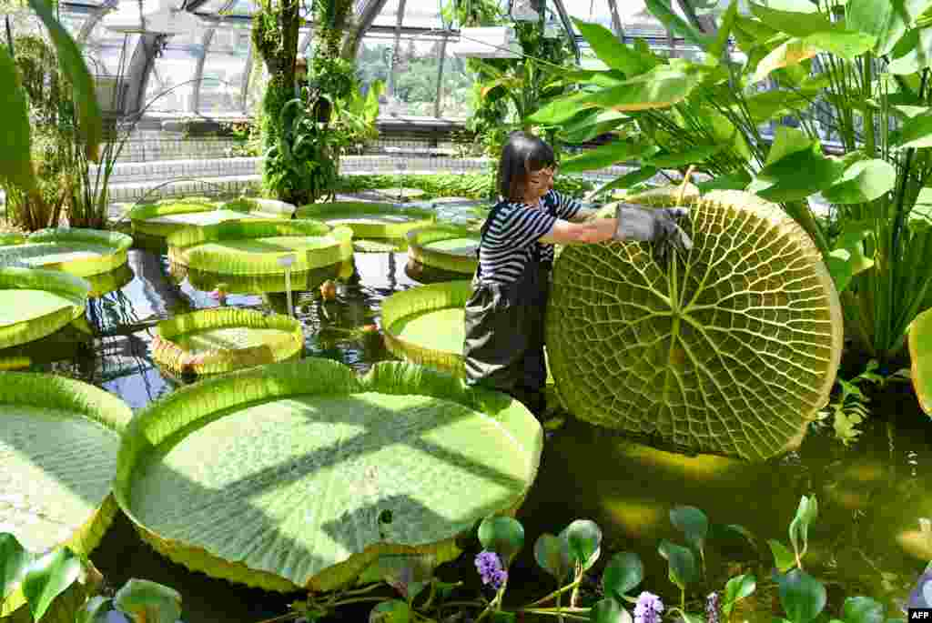 Gardener Roswitha Domine inspects a large leaf of a Victoria water lily in a pond of the greenhouse at Berlin's Botanical Garden as final preparations are made after extensive reconstruction before the greenhouse's re-opening this upcoming weekend.