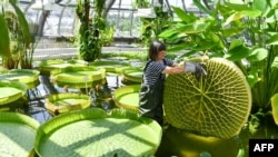 Gardener Roswitha Domine stands in a pond of the greenhouse at Berlin's Botanical Garden to inspect a leaf of a Victoria water-lily on June 14, 2018.