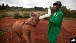 یتیم خانه فیل ها، نایروبی، کنیا