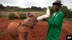 A baby orphaned elephant is fed milk from a bottle by a keeper,in Nairobi, Kenya, June 5, 2013. (AP Photo/Ben Curtis)