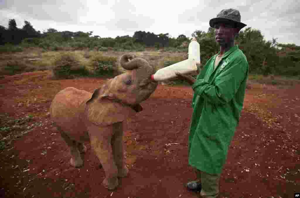 A baby orphaned elephant is fed milk from a bottle by a keeper, at an event to commemorate World Environment Day at the David Sheldrick Wildlife Trust Elephant Orphanage in Nairobi, Kenya.