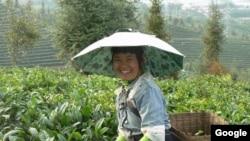 Coffee farm in China.
