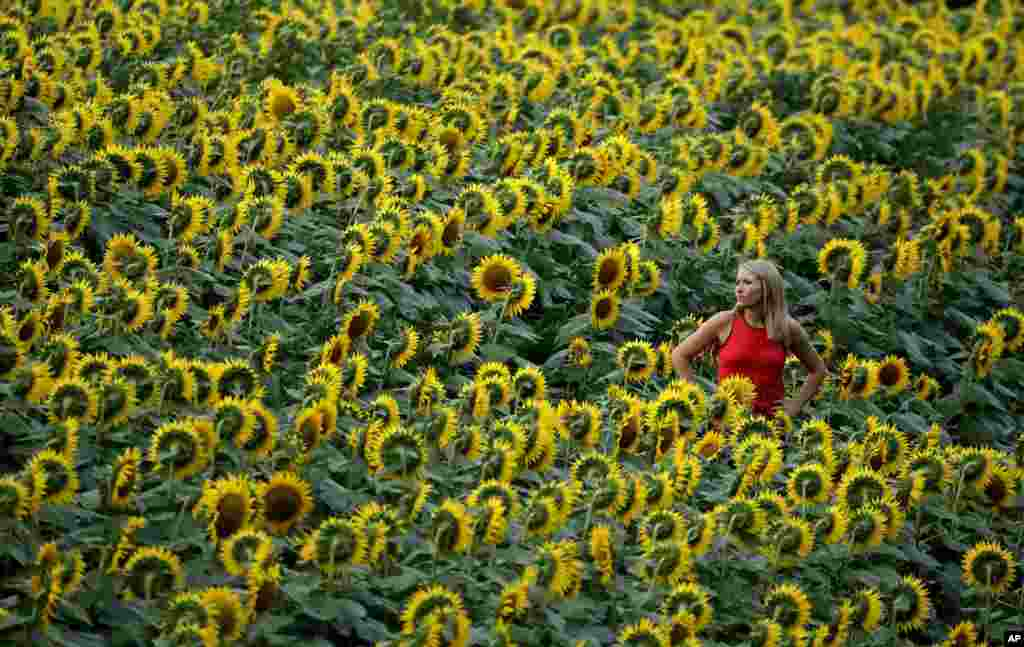 Katie Hensler looks over a sunflower field in Lawrence, Kansas, USA, Sept. 7, 2016. The 40-acre field, planted annually by the Grinter family, draws thousands during the weeklong late summer blossoming of the flowers.
