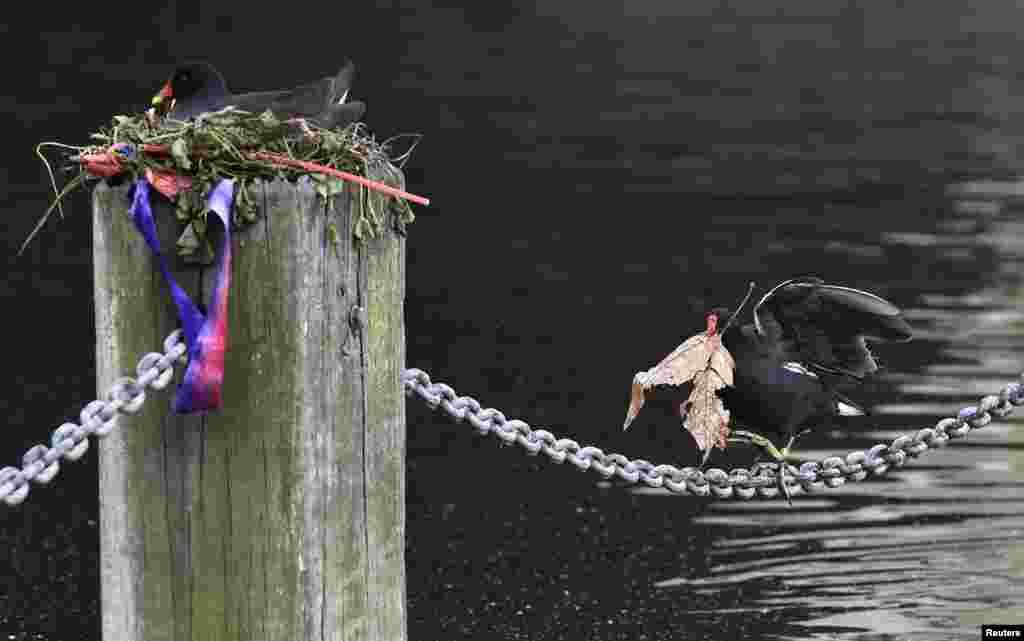 Seekor burung berjalan di sepanjang rantai sambil membawa bahan untuk membuat sarang di Danau Serpentine di Hyde Park, London.