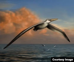 Pelagornis sandersi (Reconstruction art by Liz Bradford.)