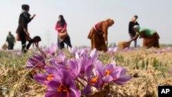 تصویری از زعفران در منطقه کشمیر هند