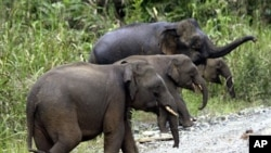 Beberapa solusi untuk melestarikan gajah Malaysia sedang dikembangkan di kampus Universitas Nottingham di Kuala Lumpur (Foto: dok).