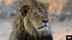 FILE - Cecil the Lion rests near a water source in Hwange National Park, Zimbabwe, Nov. 20, 2013. He was killed in an allegedly illegal hunt, invigorating an international campaign against trophy hunting in Africa. But some some see hunting as a way to fund conservation.